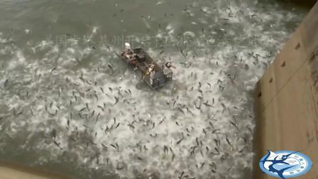 美国就是这样消灭亚洲鲤鱼的,这手法可真是断子绝孙啊,够狠