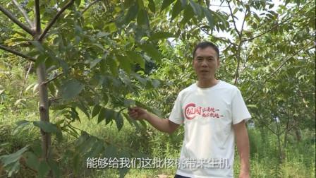 核桃树不结果有啥办法? 贵州数百亩地荒在这里太可惜! 农民都很着急