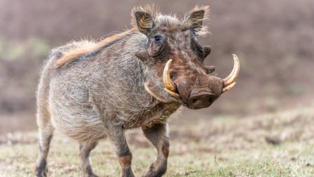 野猪跑的能有多块?  猎豹为何不吃小野猪呢?