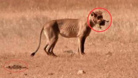 小鸵鸟遭狮子追杀,惊慌之下竟将头埋在土里,接下来憋住别笑!