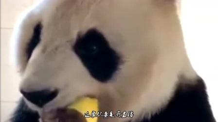 熊猫要是不当国宝,去当吃播去,估计能干掉一群网红