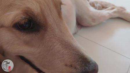 金毛的鼻子变红了,这是怎么了?怀孕了的狗狗是不是都会这样?