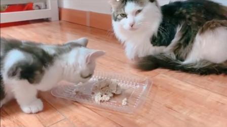吃肉和吃素的猫咪,差别就这么大吗?