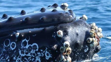 藤壶到底多可怕?鲸鱼都拿它没有办法,最后忍痛撞上游船!