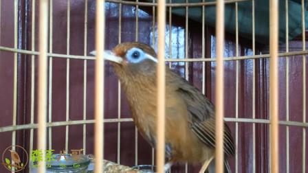 10分钟母画眉鸟引公鸟叫声,喜欢的一次听个够!