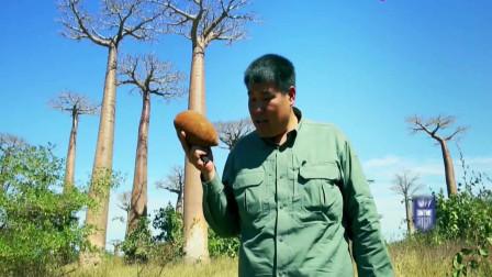 侣行:非洲的猴面包到底是啥 ?老司机270带你一探究竟!