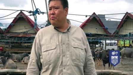 侣行:探访印尼最贵的水牛市场,水牛当祭品,一头卖6万!