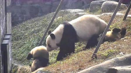 熊猫将熊猫宝宝推到沟里,突然想起娃是亲生的,接下来请憋住别笑