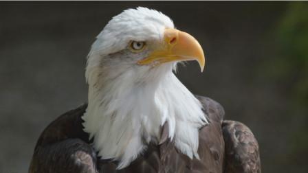 老鹰捕食鸡仔,上一秒气势汹汹,下一秒狼狈逃窜