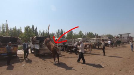 新疆喀什牛羊大巴扎,这头牛从车上直接蹦下来了