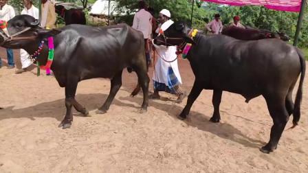 印度小伙给牛配种,找来一头皮肤黝黑的公牛,旁边戴帽子大叔成亮点