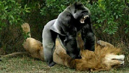 遇见豹子的猩猩何去何从?护儿心切的妈妈,却见到这残忍的一幕!