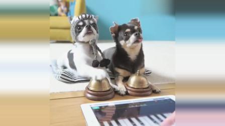 两只吉娃娃按响铃铛配合主人的钢琴的旋律