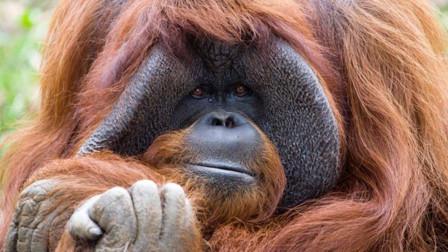 动物园猩猩被人类激怒,一拳砸碎钢化玻璃,镜头拍下惊险一幕