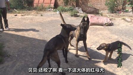1500的马犬发情去配种,带芯片的爆红公狗体型真大,用它配怎么样
