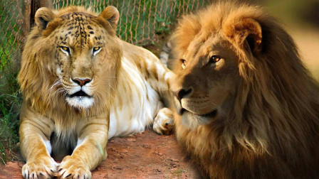 老虎跟狮子大比拼,到底谁更聪明?看看这个测试就知道了