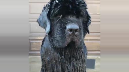 给纽芬兰犬宝宝淋水洗澡,狗狗一脸蒙圈的样子