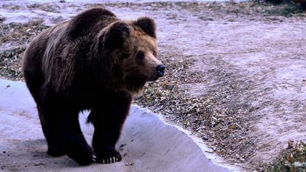 最残忍的母亲,棕熊妈妈直接把小棕熊推下雪山,镜头拍下全过程