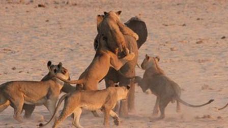 20只狮子猎捕一头大象,看大象能否狮口逃生?