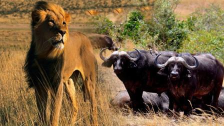 黑牛遇上狮子,分分钟被秒杀,临危之际是谁伸出了援手