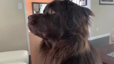 近距离欣赏纽芬兰犬史诗般的嚎叫,真是个可爱的大宝宝