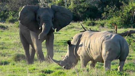 陆地上最大的动物,非洲大象大战犀牛,场面太激烈了