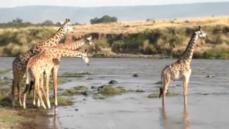 长颈鹿群过河,不料鳄鱼对其发起了猛攻,镜头拍下全过程