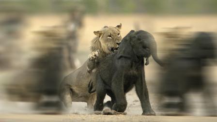 小象被狮子疯狂撕咬,最终逃出生天,镜头拍下全过程