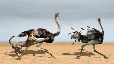 猎豹偷吃鸵鸟蛋,逼得鸵鸟妈妈以命相搏,镜头拍下全过程