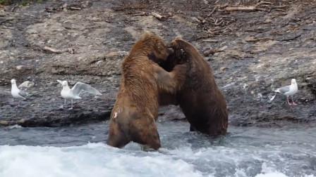 棕熊之间的死斗,画面看起来太凶残了,镜头拍下全过程