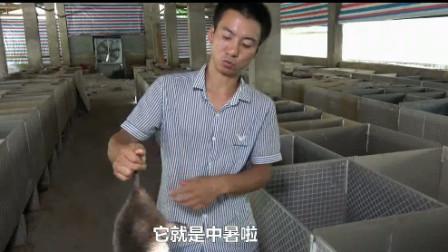 华农兄弟:竹鼠中暑有什么症状?如何预防和救治?