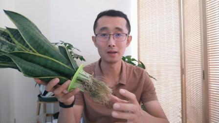 水培植物的根系,长的很茂盛,需要修剪吗?