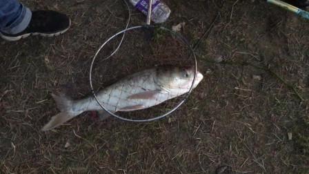 大弯弓,这样的鲢鱼钓着真有手感!