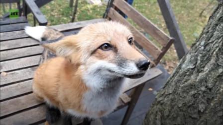 快来吸!爱吃芝士的小狐狸!