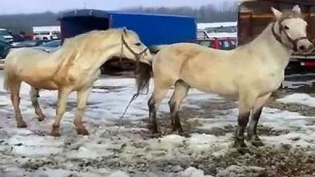 公马和母马被牵到一起,没想到直接干起仗来了,场面失控异常激烈