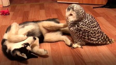 主人怕二哈拆家,找只猫头鹰给它解闷,下一秒忍住别笑!