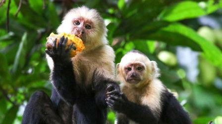 一群猴子在树上吃木瓜,母猴无意间一个举动,小猴瞬间陷入险境