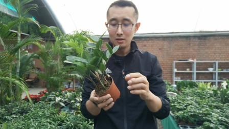 看看金钱树的根茎叶,你就知道该怎么浇水了,一学就会