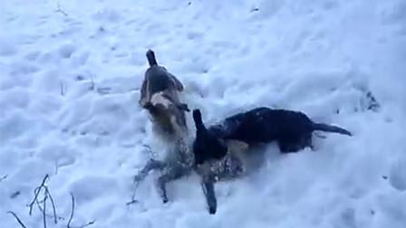 狐狸仗自己鬼主意多,同时挑衅两只狗狗,结果被狗狗制得服服帖帖
