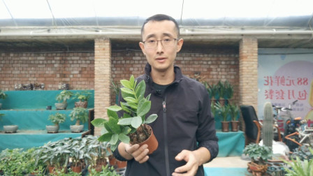 金钱树用什么花盆养护?不要只盯着花盆,另外1点更重要