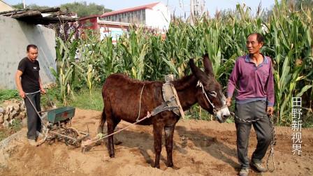 农村大叔赶毛驴播种,这种生产方式,以后再也见不到了