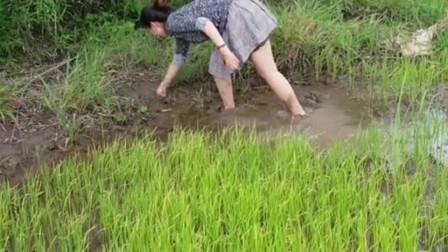 妹子的捕鱼生活,水田里舀舀水,看看她能捉几条鱼?
