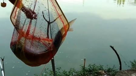 中鱼后看势头不对感觉松手,现在钓鱼人都变聪明了