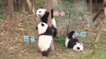 熊猫:三熊争树,最后的赢家是谁