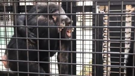 有意思!这两只大猩猩是喝了假酒,还相互搀扶着!