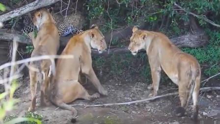 【动物世界】疯狂花豹,1V3雌狮