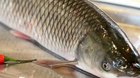 大鲤鱼大草鱼竟然为了它大打出手,它到底有什么魅力啊?
