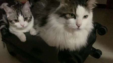被两只猫咪发现拿了行李箱,它们就这样蹲在了上面