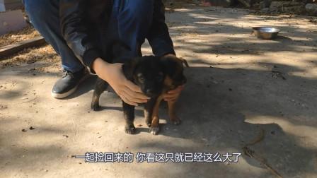 捡来的小狗狗都长大了不少,但是有一只却一直长不大