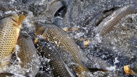 入冬后,鲤鱼就不吃玉米了?老钓鱼人直言:你的打开方式不对